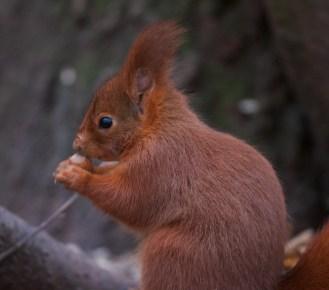 Ecureuil roux+sciurus vulgaris+european red squirrel+parc+Sceaux+Paris+noisette+nature