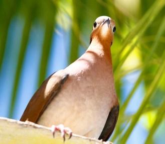 Tourterelle à queue carrée, Zenaida Dove, Zenaida aurita, Grande anse des Salines, Martinique, faune, oiseaux