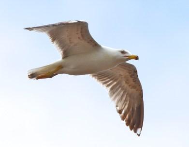 Goéland leucophée (Yellow-legged Gull, Larus michahellis), Bosa Marina, Sardaigne, Sardinia, Sardegna