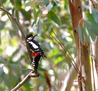 Pic épeiche, Great Spotted Woodpecker, Dendrocopos major, Lago di Baratz, Sardaigne, Sardinia, Sardegna