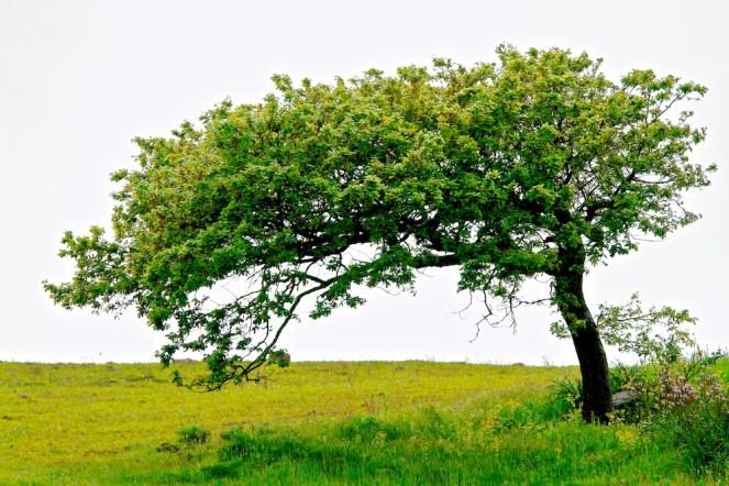arbre penché, Osilo, Sardaigne, Sardinia, Sardegna