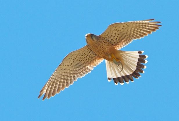 Faucon crécerelle, Common kestrel, Falco tinnunculus, Oristano, Sardaigne, Sardinia, Sardegna
