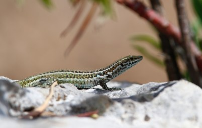 Lézard Tyrrhénien, Tyrrhenian wall lizard, Podarcis tiliguerta, Parco nazionale del Golfo di Orosei e del Gennargentu, Sardaigne, Sardegna, Sardinia