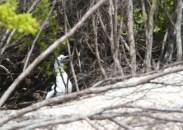 Fou brun, Brown Booby, Sula leucogaster, Rahuna Iti, Tetiaroa