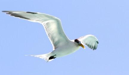 Sterne huppée, Greater Crested Tern, Thalasseus bergii, Bora Bora, French Polynesia