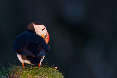 Macareux, Islande, oiseaux