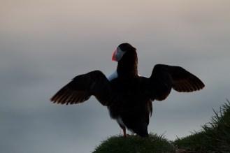 Macareux moine, envol, Islande, oiseaux