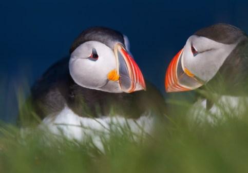 Couple, macareux moine, Islande, oiseaux