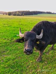 Alb-Büffel
