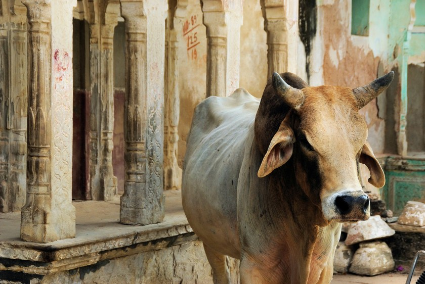 Holy Cow! Cows are sacred animals in Hinduism
