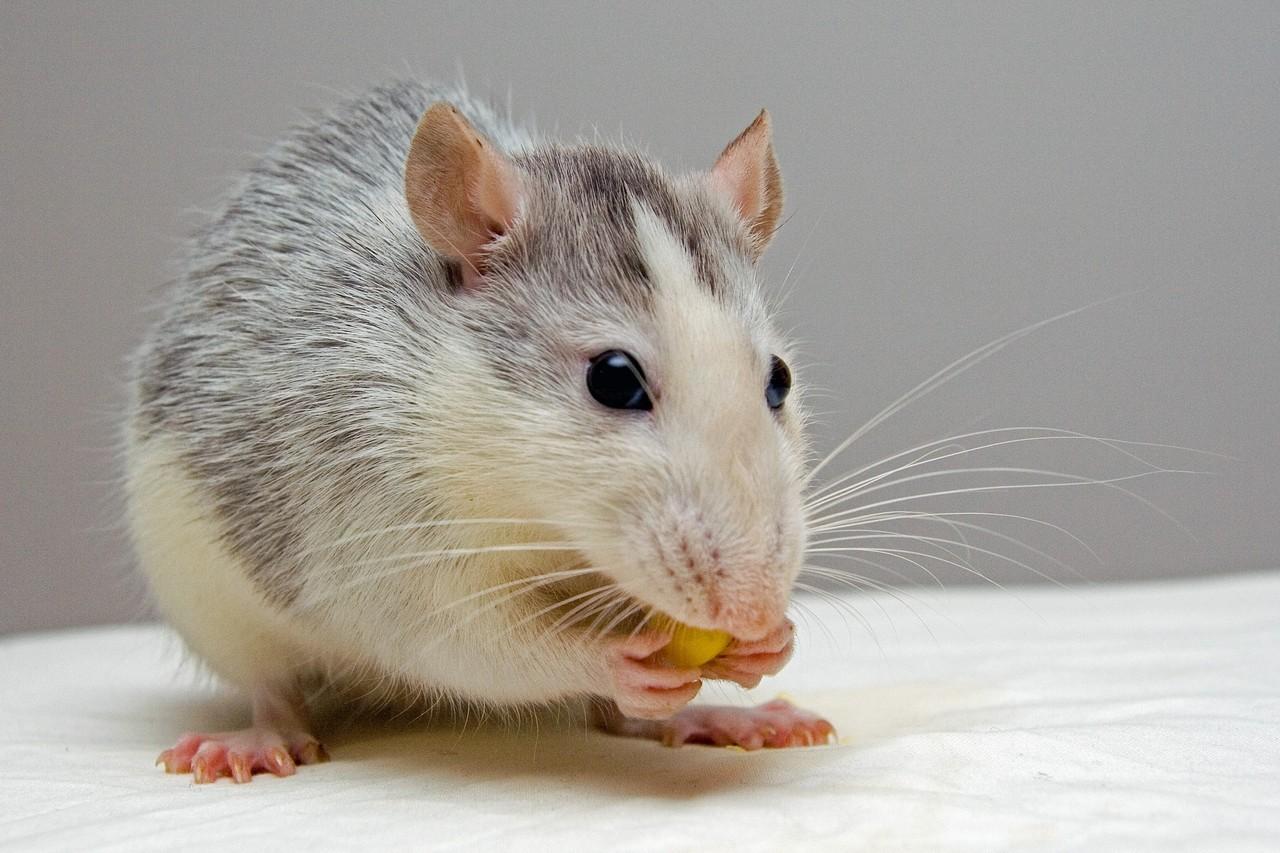 rato preto e branco comendo