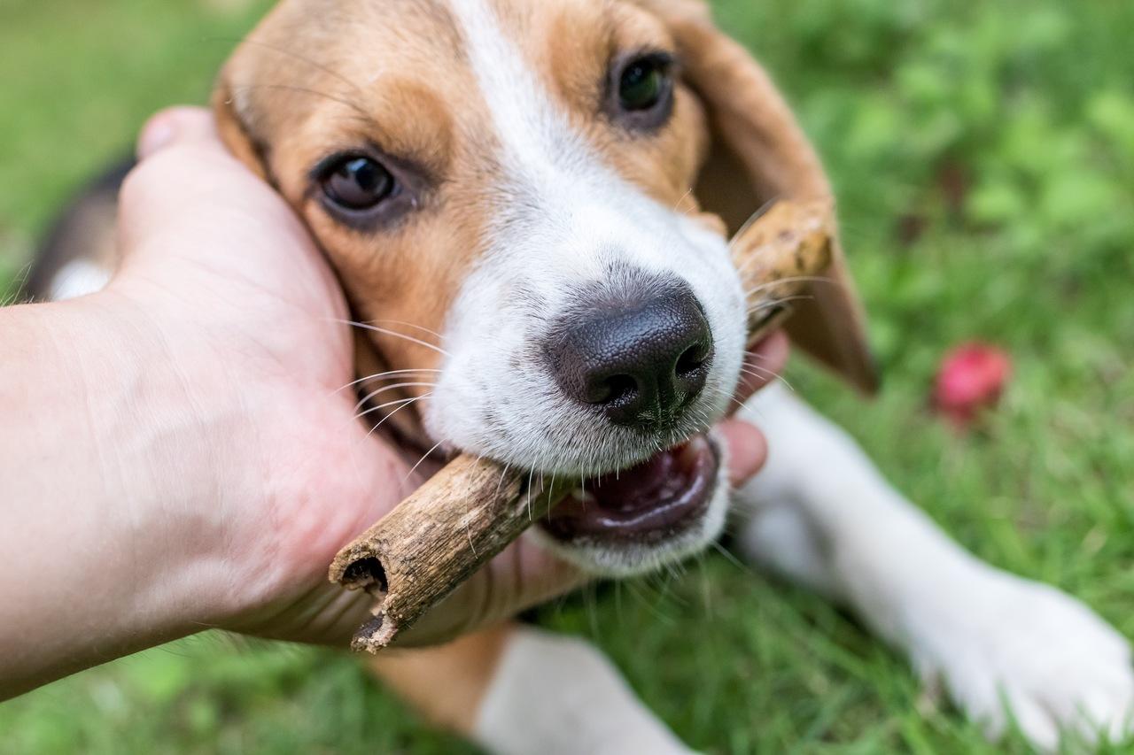 cachorro beagle feliz mordendo toco de madeira e recebendo carinho de humano
