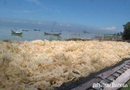 Rumput laut dijemur selama 1 sampai 3 hari
