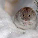 雪の中のネズミ