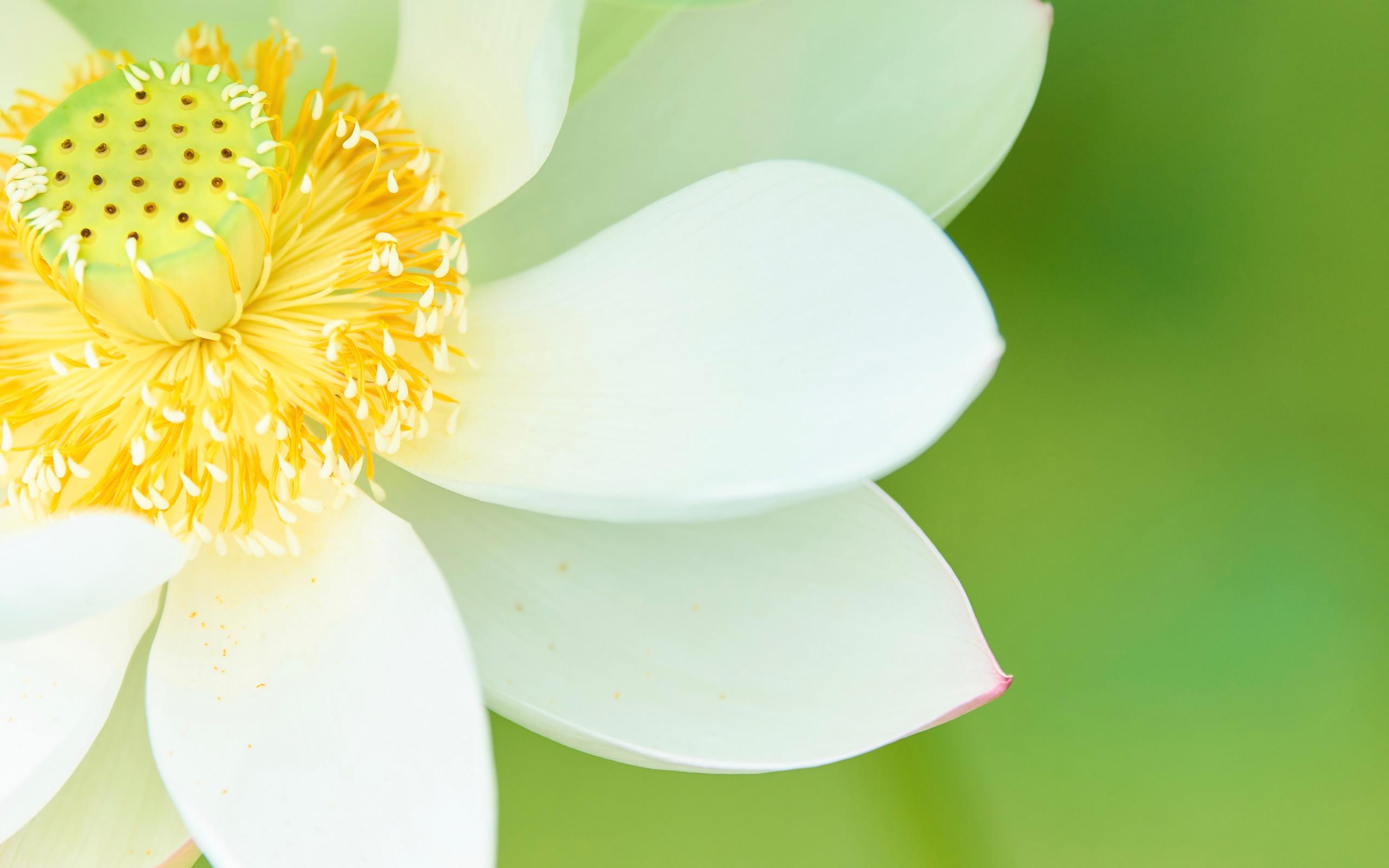蓮の花(北海道地震のお見舞い)