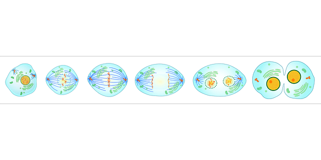 What is mitosis? phases of mitosis in order