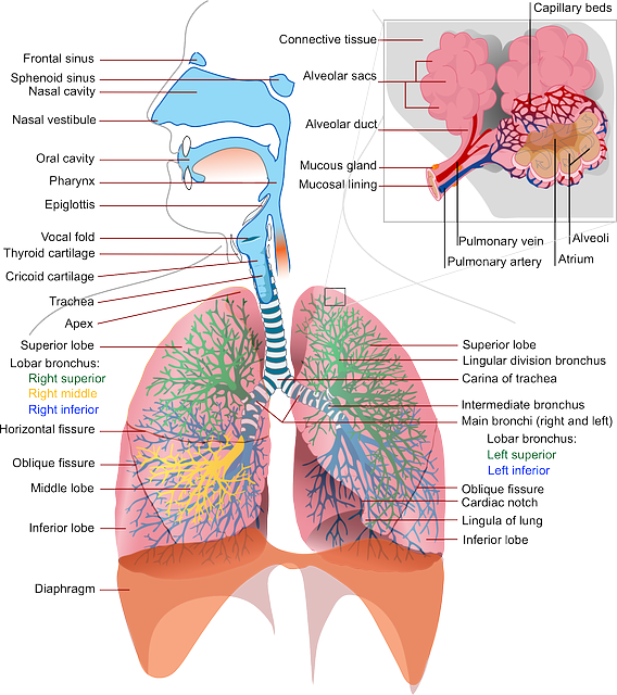 What is the respiratory system? The function of the respiratory system