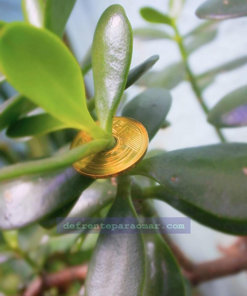 planta-jade-5-yen