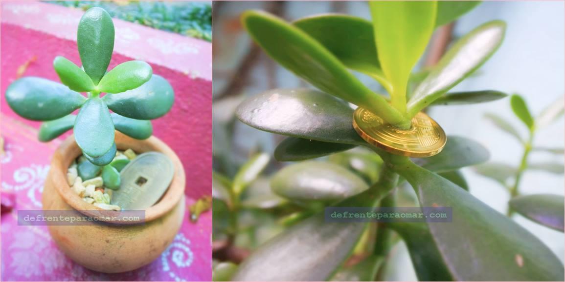 A árvore da fortuna - planta jade