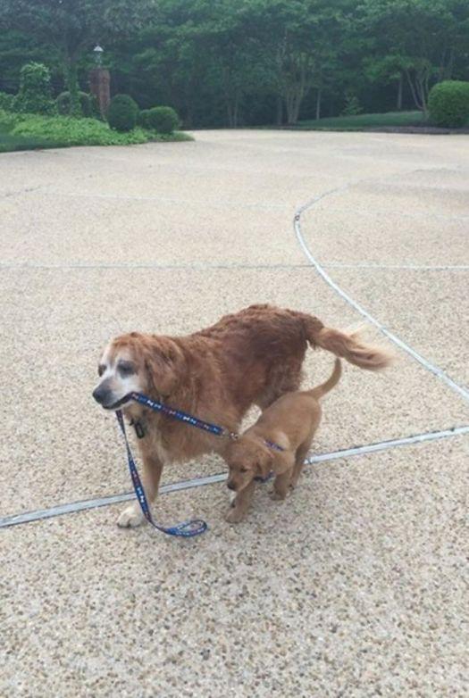 big-dog-walking-small-dog