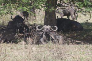 buffels safari groeiblog
