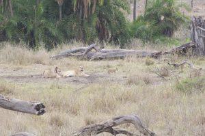 Leeuwen luieren De Groeicoach Safariblog