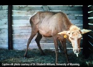 CWD Elk_photo credit