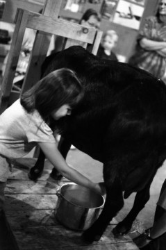 Milking a goat.