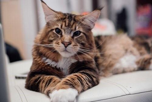 Main Coon Katzen Eigenschaften Und Pflege Deine Tiere
