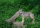 Wolf_179