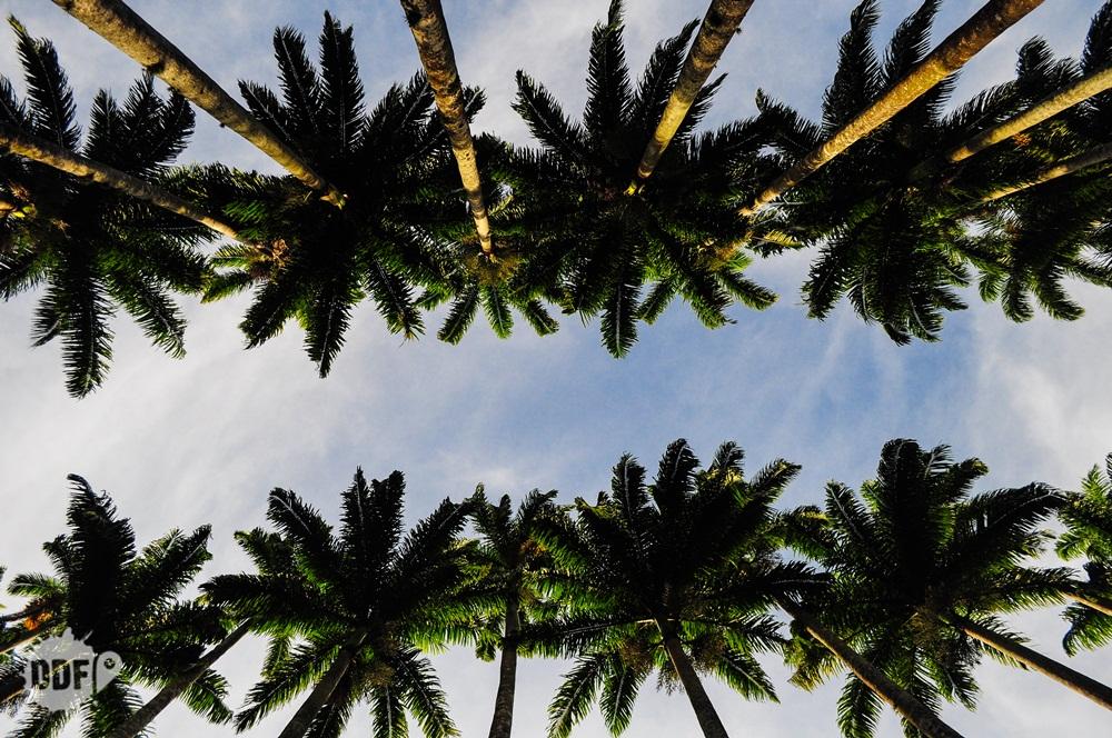 jardim botânico -rio-de-janeiro-caminho-palmeira-real-brasil