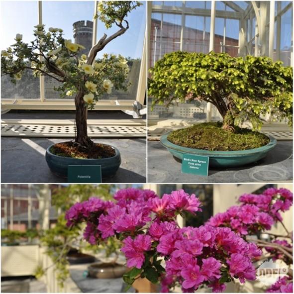 dublin-botanic-gardens-jardim-botanico-irlanda-bonsai-exposicao