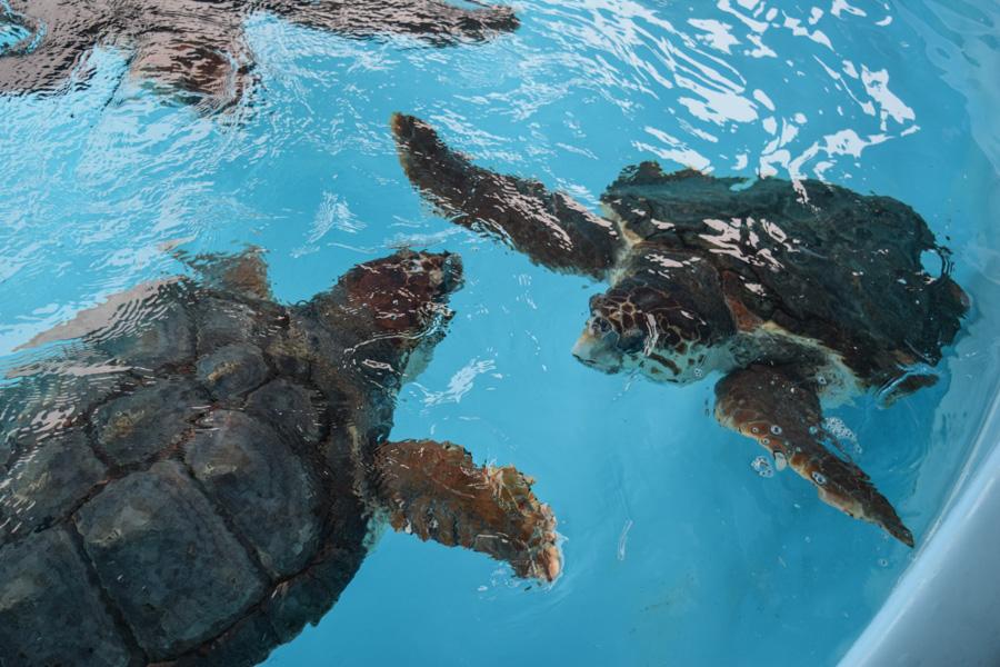 projeto tamar em florianopolis tartarugas marinhas