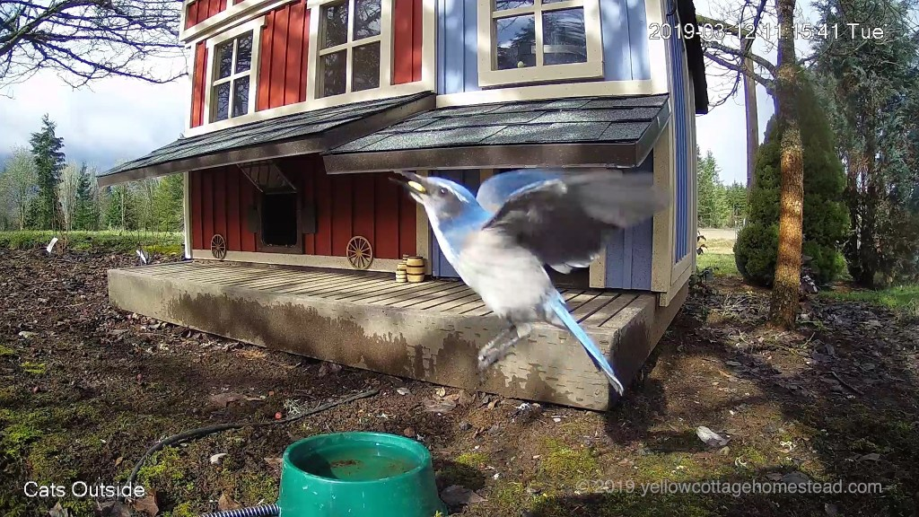 Scrub jay bird taking off