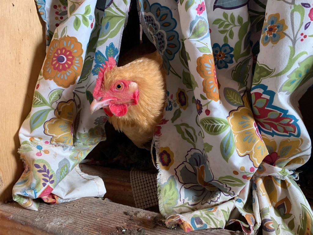 Chicken in nesting box