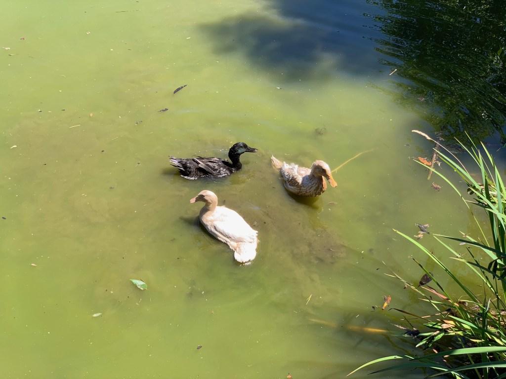 Ducklings in pond