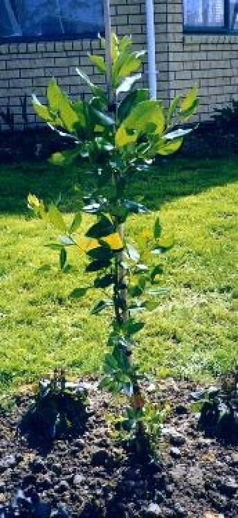 'Edna' tree