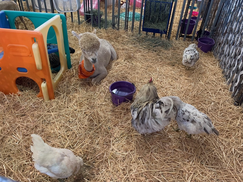 Chickens and alpaca