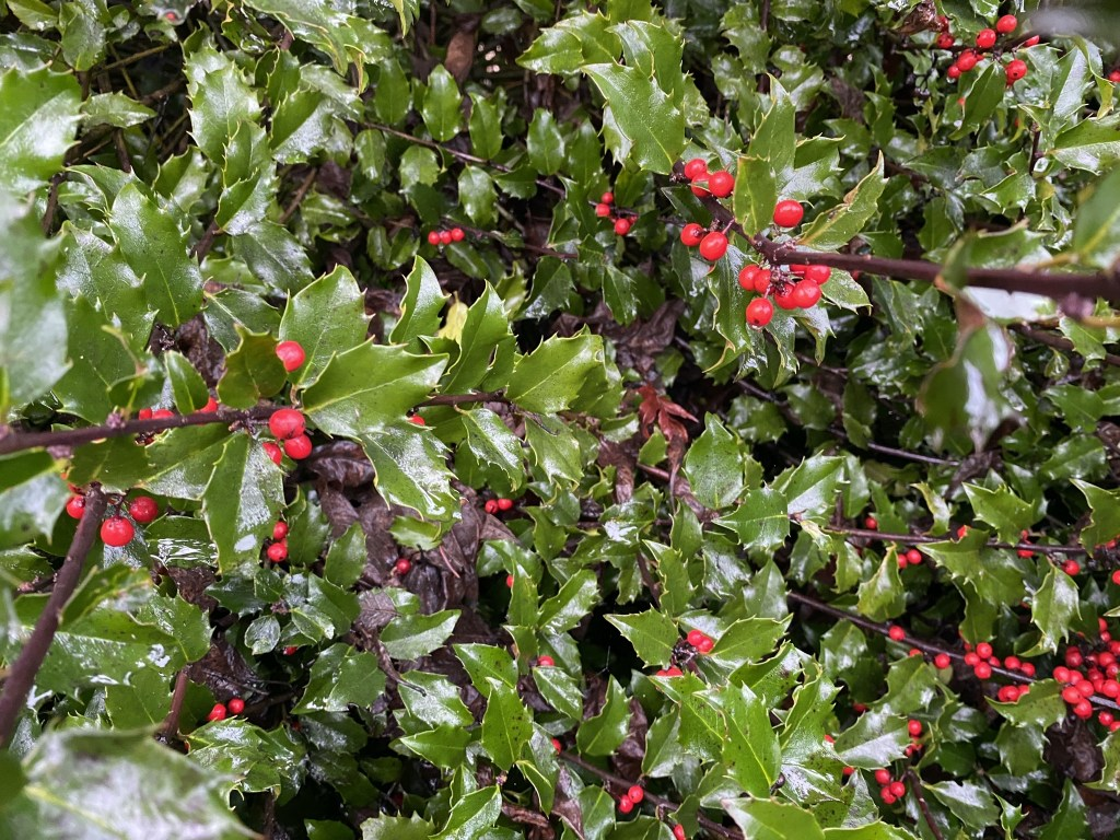 A holly shrub