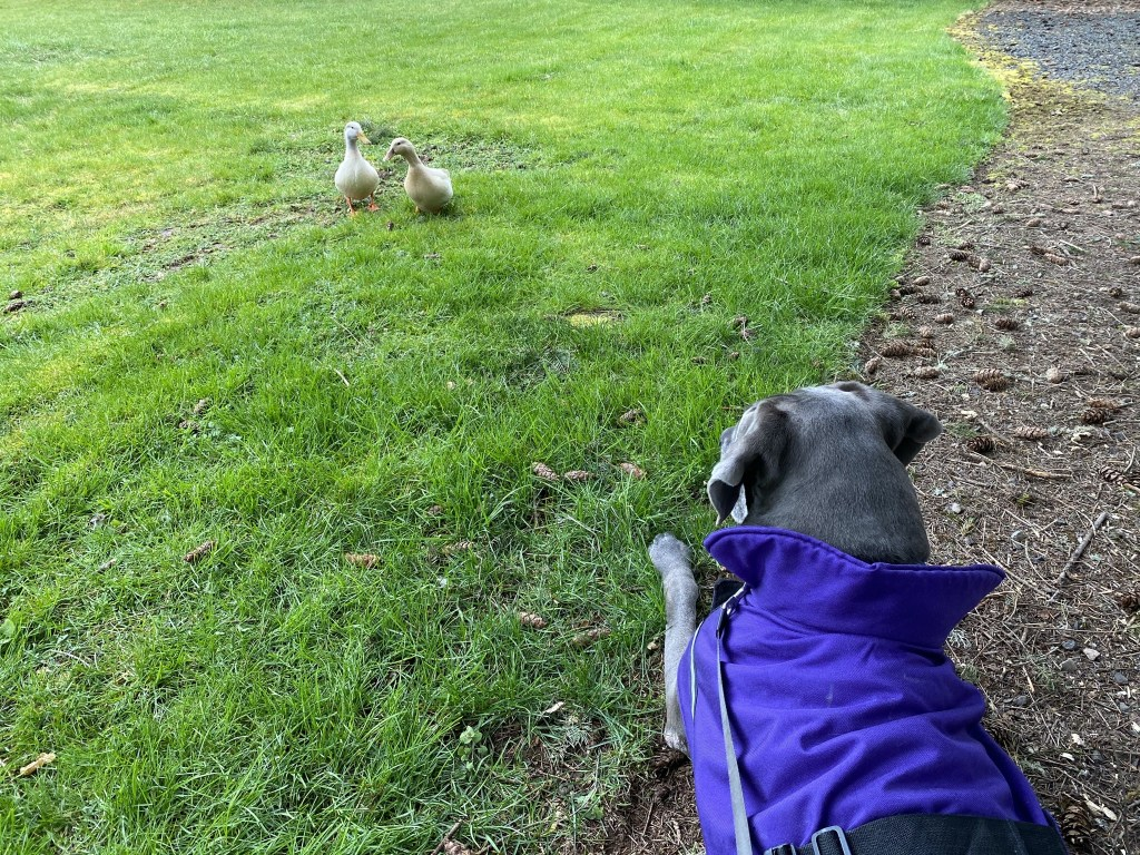 Ducks and dog