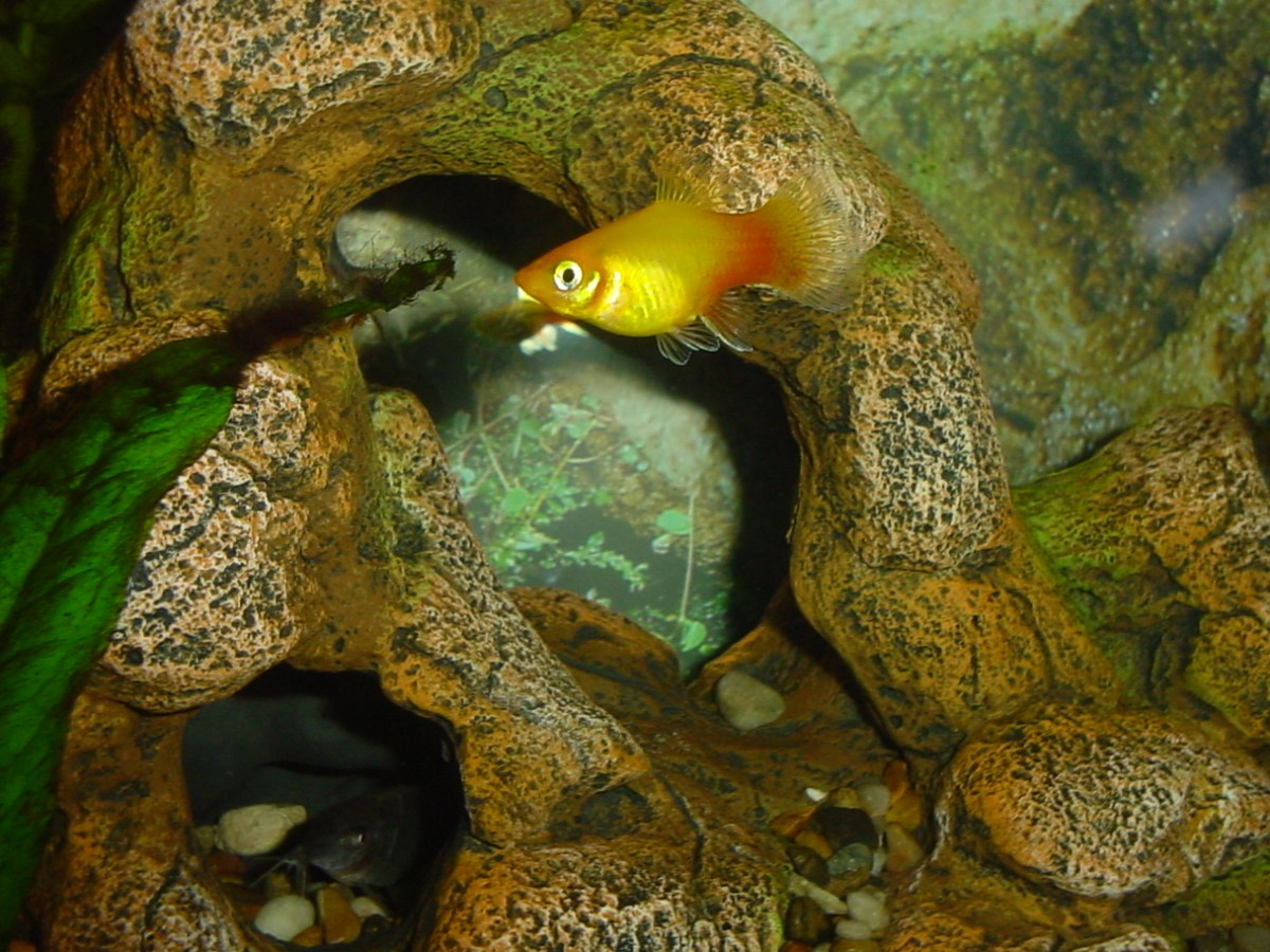 Orange platy... and a cory cat peeking