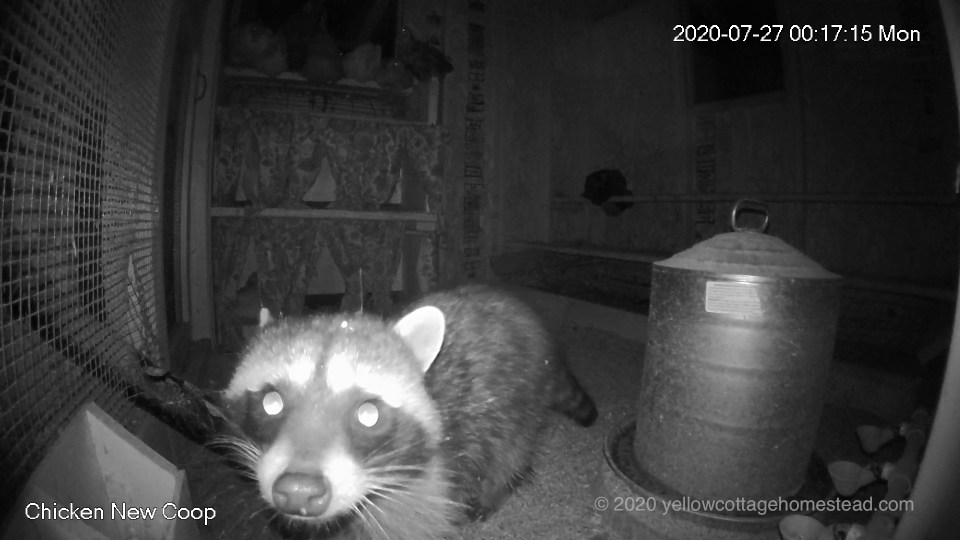 Raccoon in chicken coop