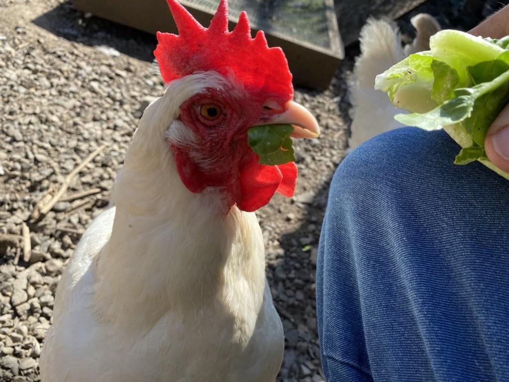 Chicken stealing lettuce