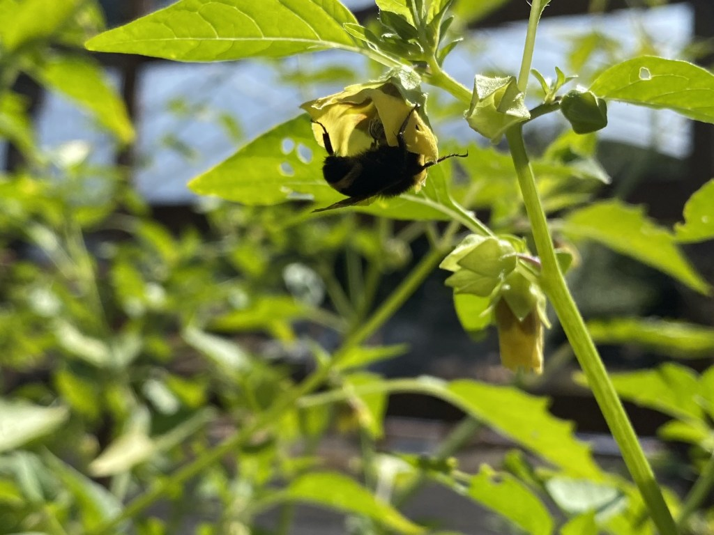 Tomatillo with bumble bee
