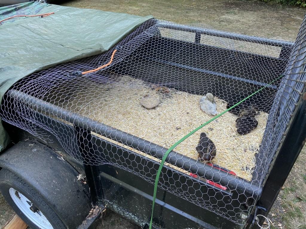 Ducklings in a trailer