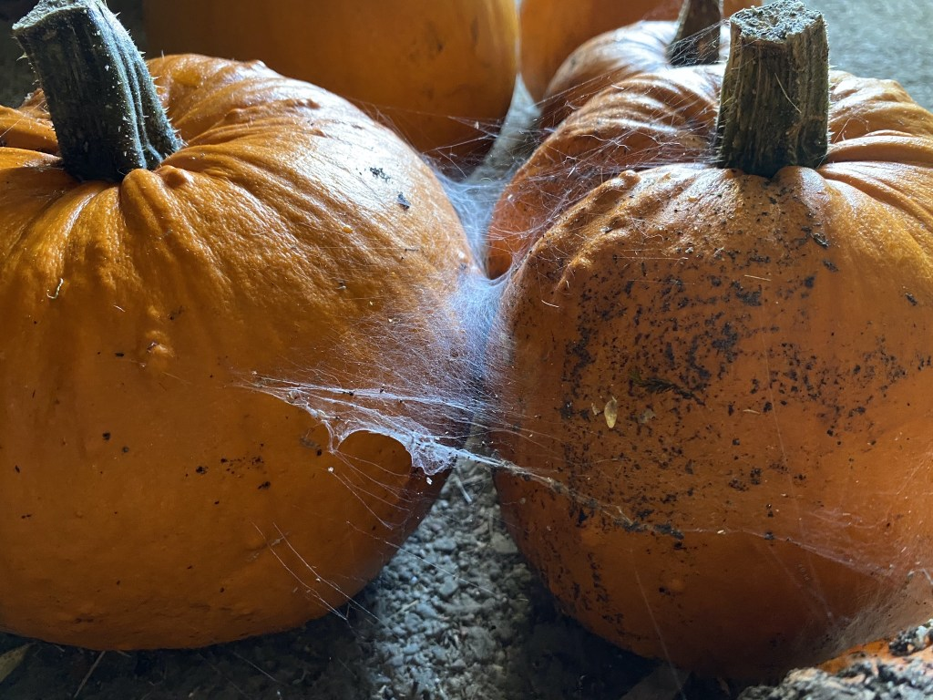 Pumpkins with spider web