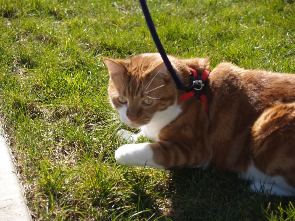 Pixel with harness and leash