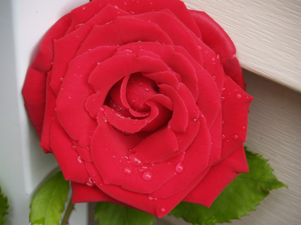 Veteran's Honor rose with water droplets