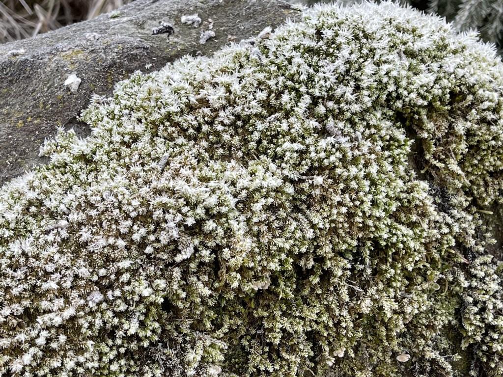 Frosty mossy rock