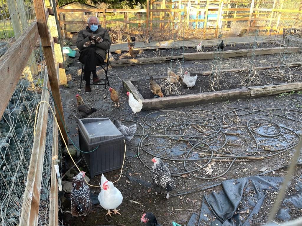 Bernie watching the chickens